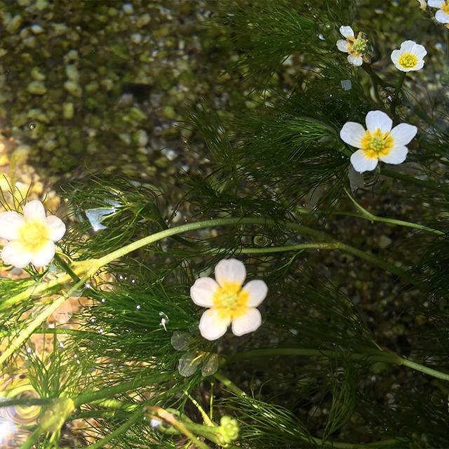 梅花藻(ばいかも)『幸せになる決意』 | 和樂フラワーエッセンス