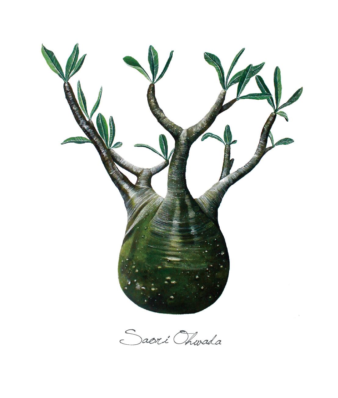 Pachypodium gracilius ステッカー