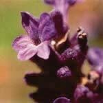 ラベンダー[Lavender]#10