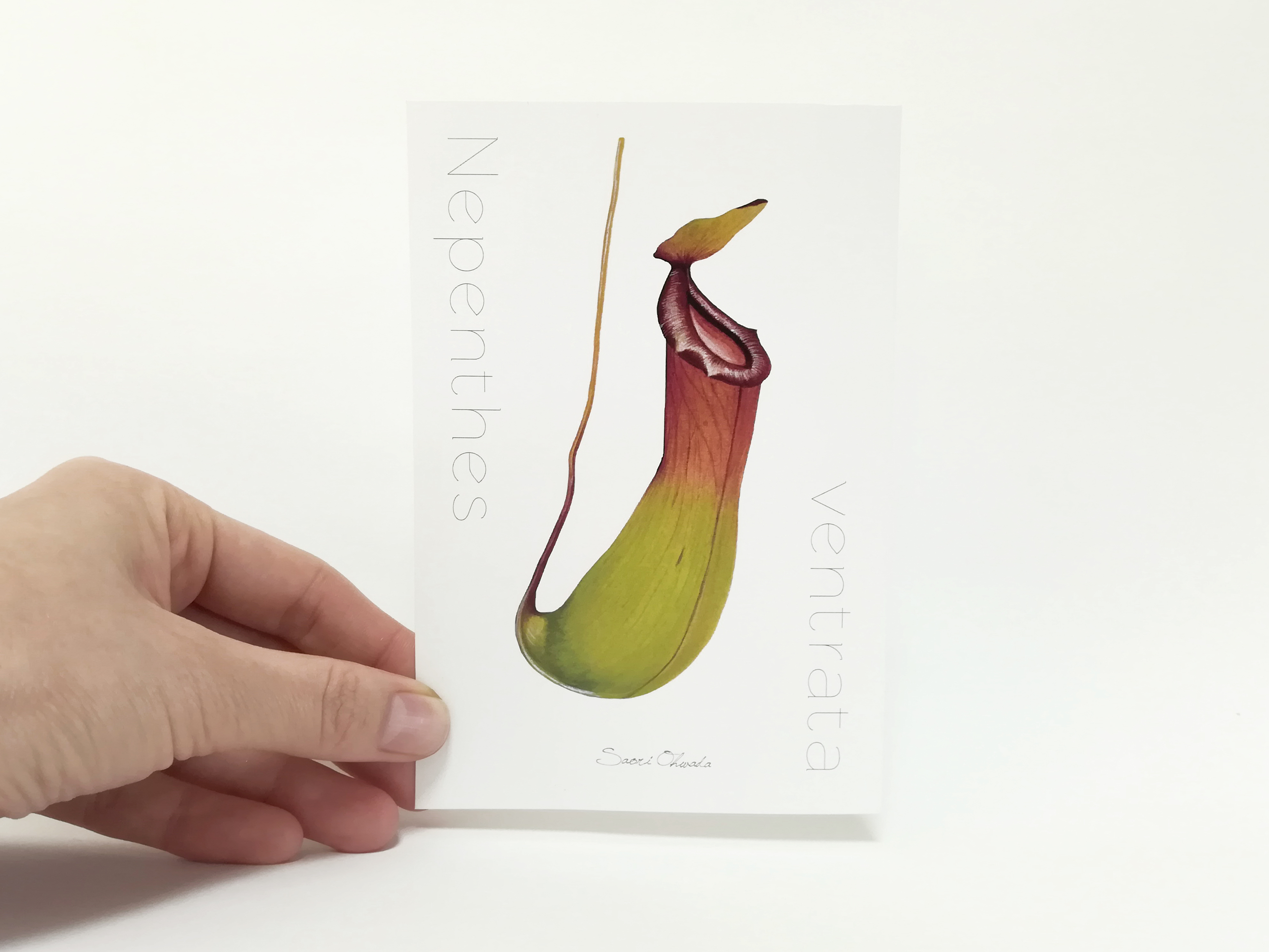 Nepenthes ventrata ポストカード
