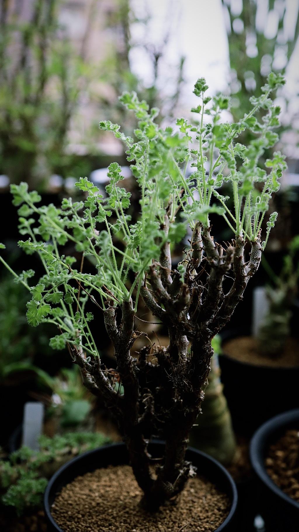 ペラルゴニウム・アルテルナンス   Pelargonium alternans