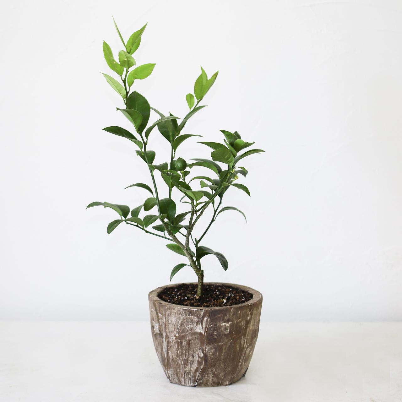 レモンの木栽培キット