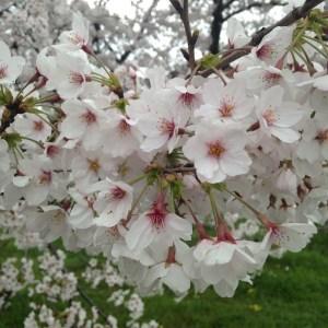 桜(さくら)『共同体とコミュニケーション』| 和樂フラワーエッセンス