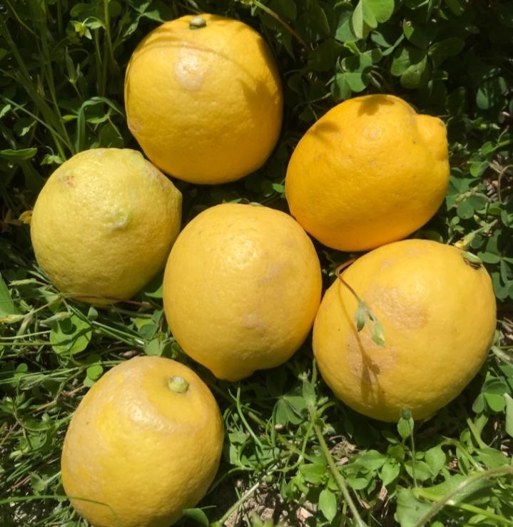 【B級品】瀬戸田産レモン(化学農薬・化学肥料不使用) 1kg