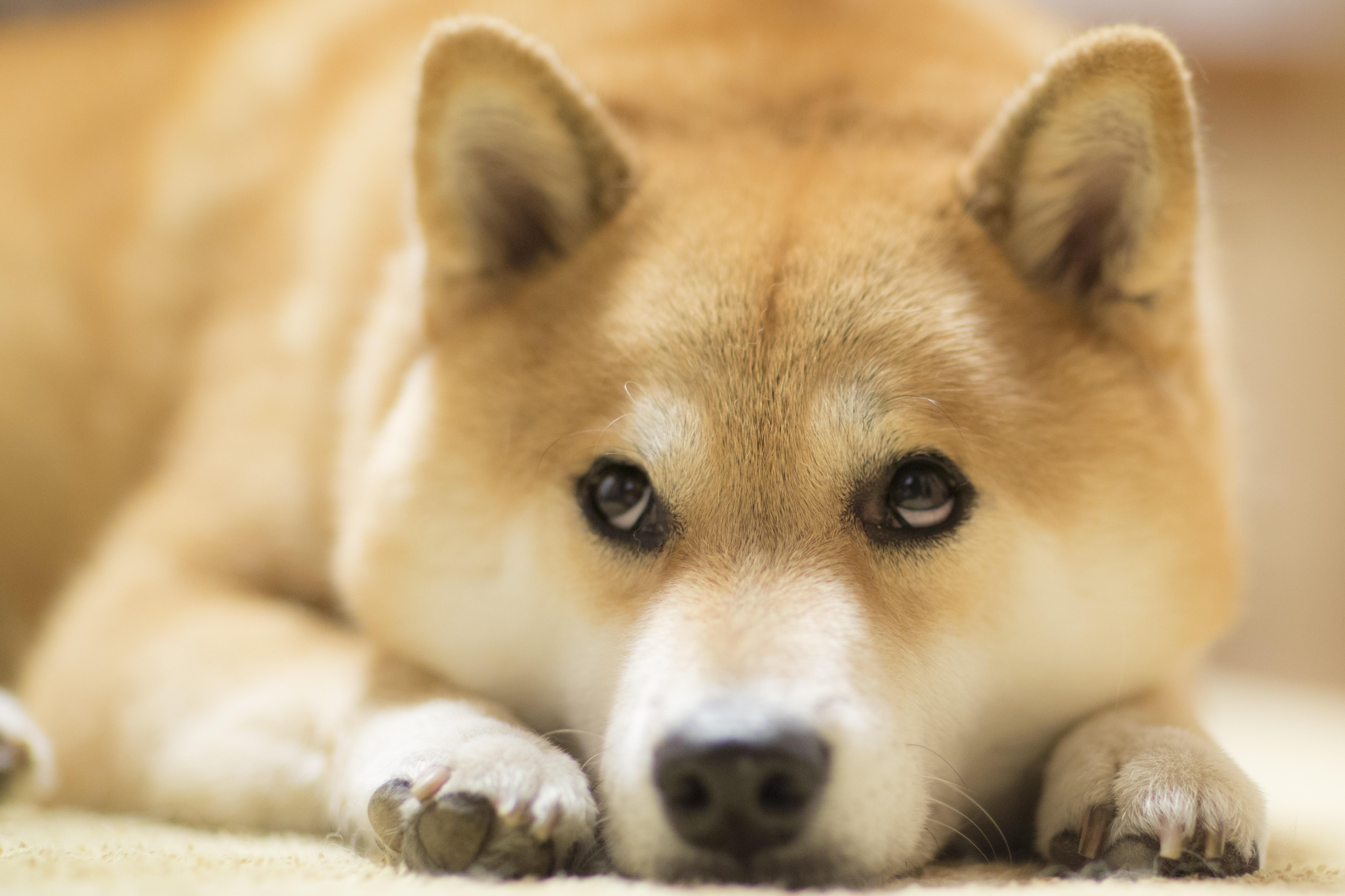 柴犬まる 写真 「ちょっと休憩中です」 A4版
