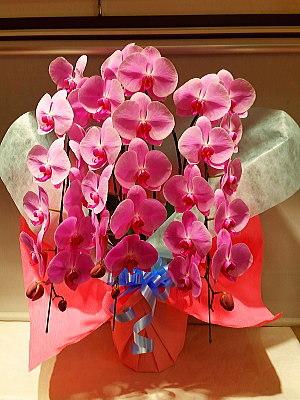 ran016 胡蝶蘭 ピンク