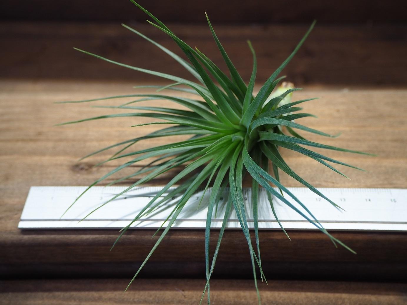 チランジア / テヌイフォリア ブッシュ (T.tenuifolia 'Bush')