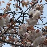 中将姫請願桜(ちゅうじょうひめせいがんざくら)『女性ならではの心と身体の苦しみの解放』 | 和樂フラワーエッセンス