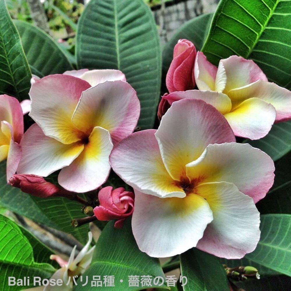 【1点モノ】プルメリア苗 'Bali Rose' (ラスト1鉢・薔薇の香りのバリ系希少品種)