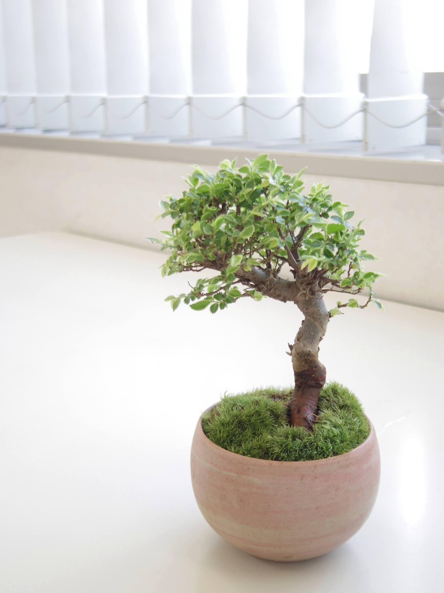 新緑を愛でるモダン盆栽