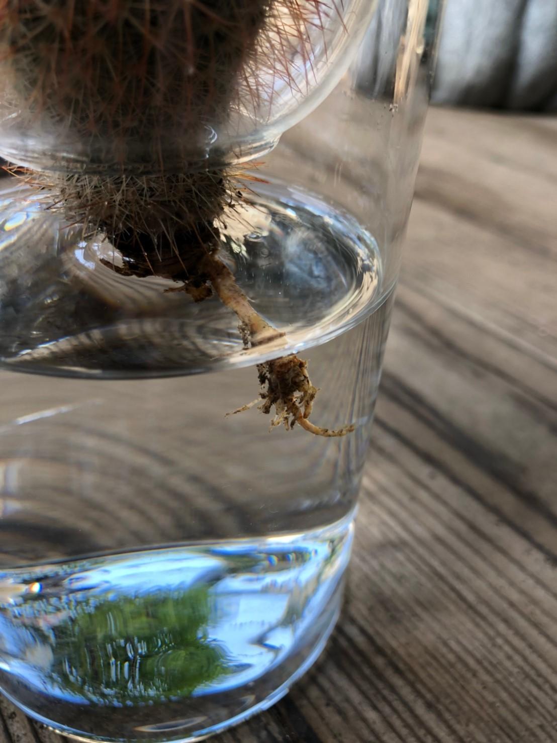 サボテン水栽培キット 小
