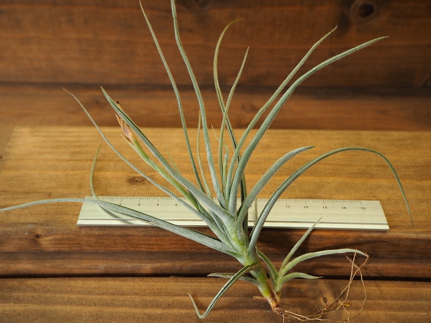 チランジア / カリギノーサ × クロカータ (T.caliginosa × T.crocata)