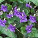 パープルヴァイオレット[Purple Vilolet]