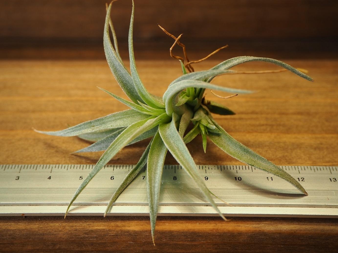 チランジア / チアペンシス (T.chiapensis) Sサイズ