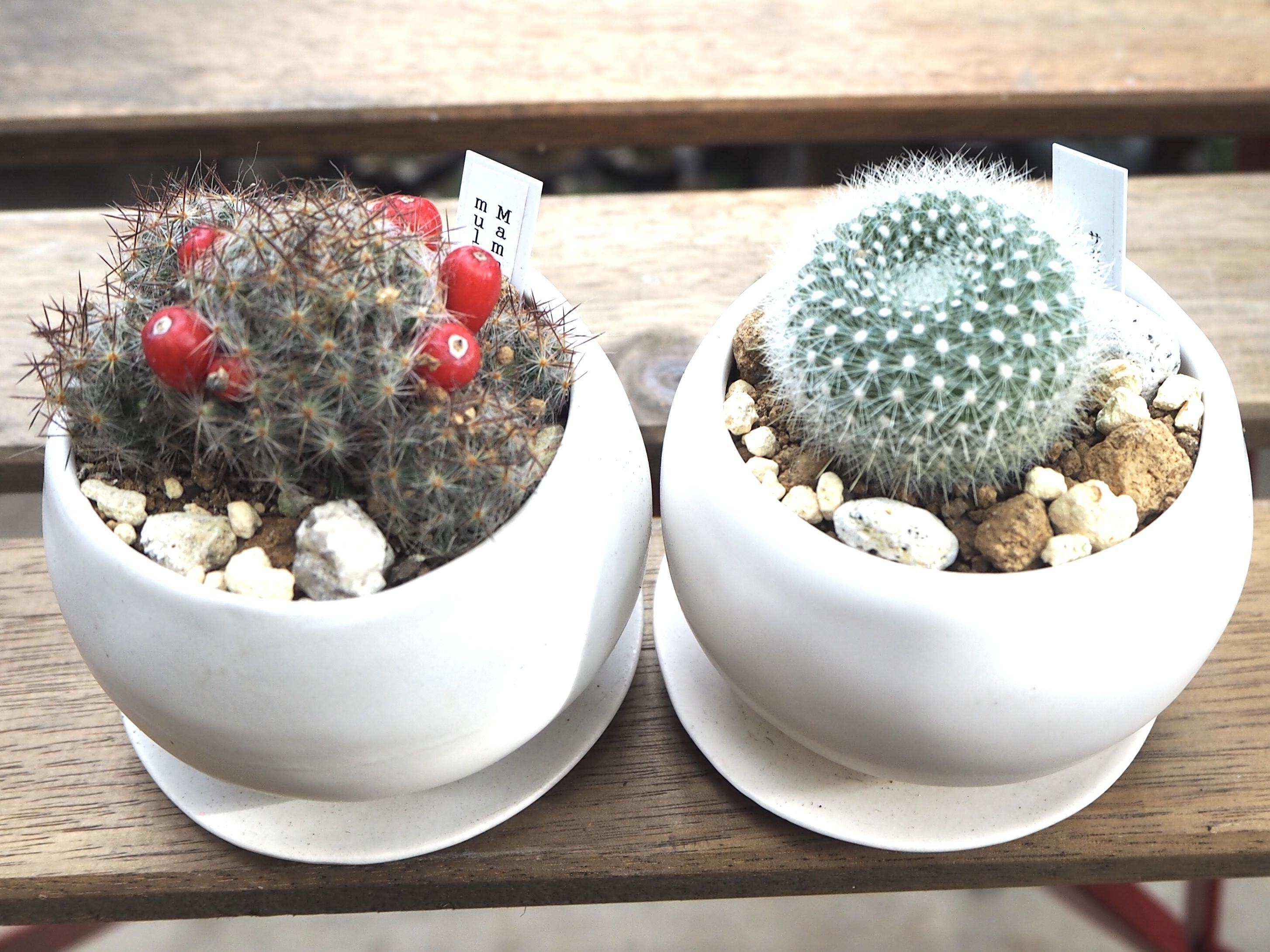 お得な2鉢セット雪晃×松霞