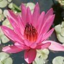 パープルウォーターリリー[Purple Water Lily]