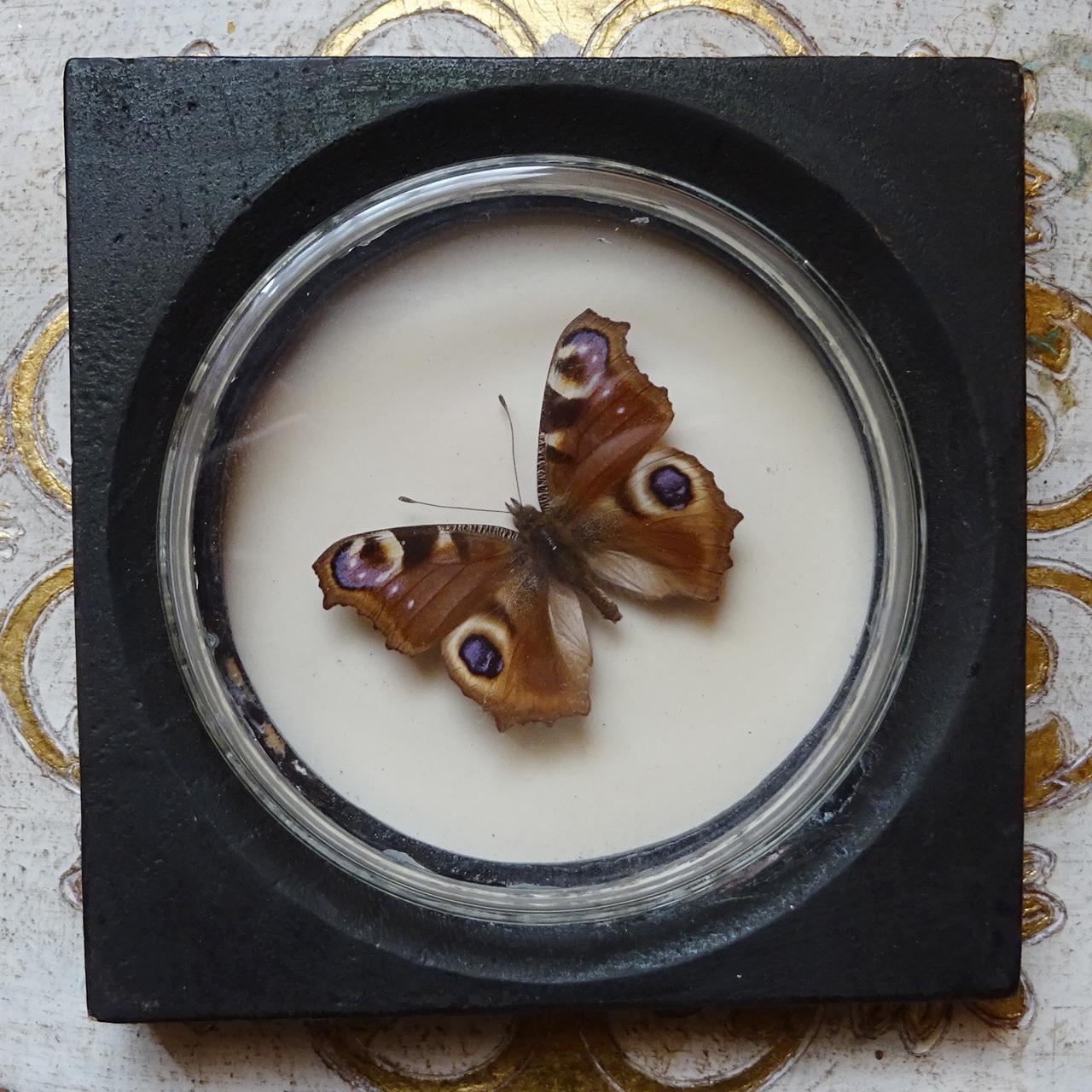 チェコ 蝶の標本