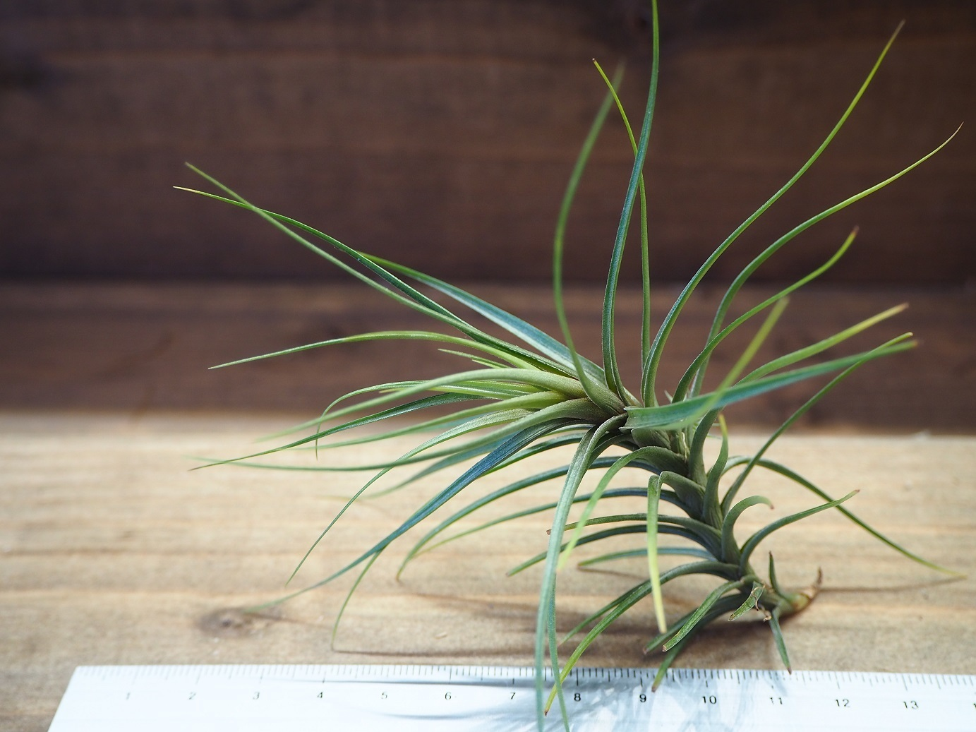 チランジア / テヌイフォリア ブルーフラワー (T.tenuifolia 'Blue Flower')