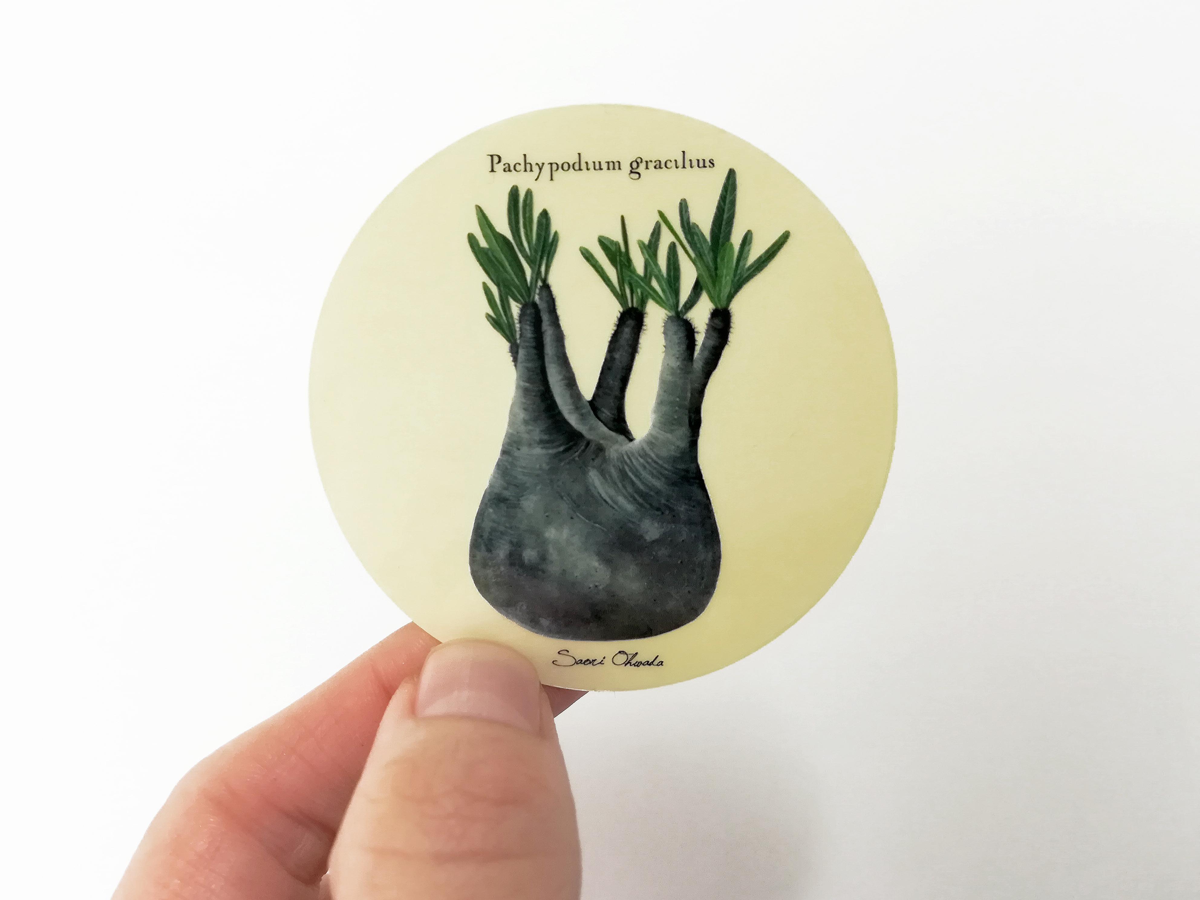 Pachypodium rosulatum var. gracilius 透明ステッカー