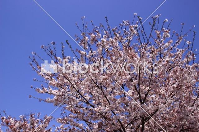 写真素材:春の桜002 - 画像1
