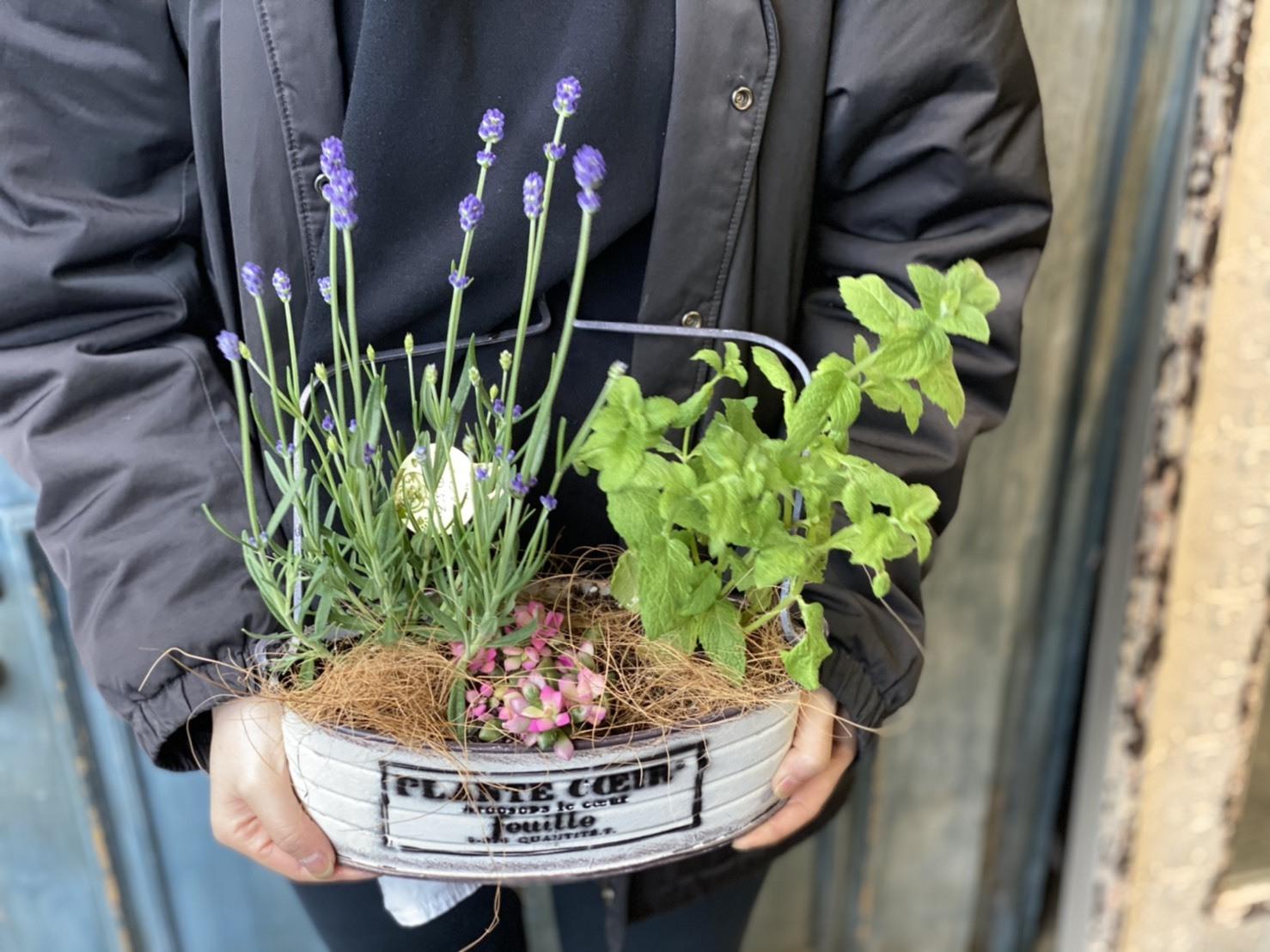 【母の日ギフト】ラベンダー、桜吹雪、ミントの寄せ植え