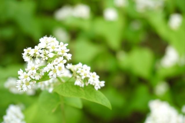 白い可憐なそばの花
