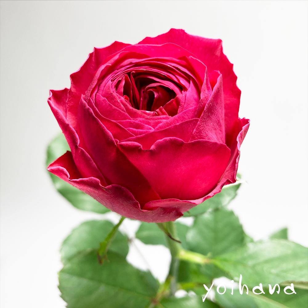 4/23 サン・ジョルディの日 愛する人にバラを贈る