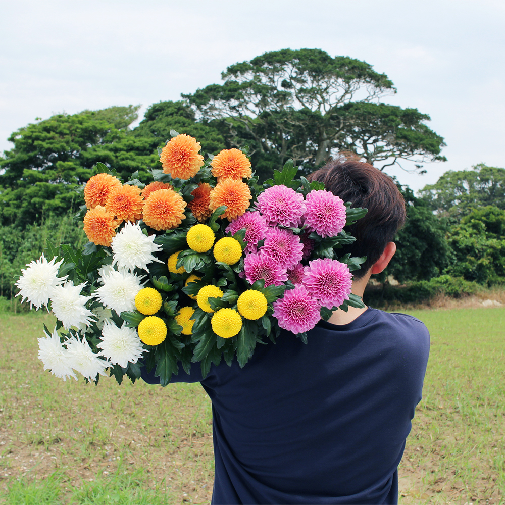 <お花のつくり手 応援> 藤目さんのピンポンマム農園を訪問取材。