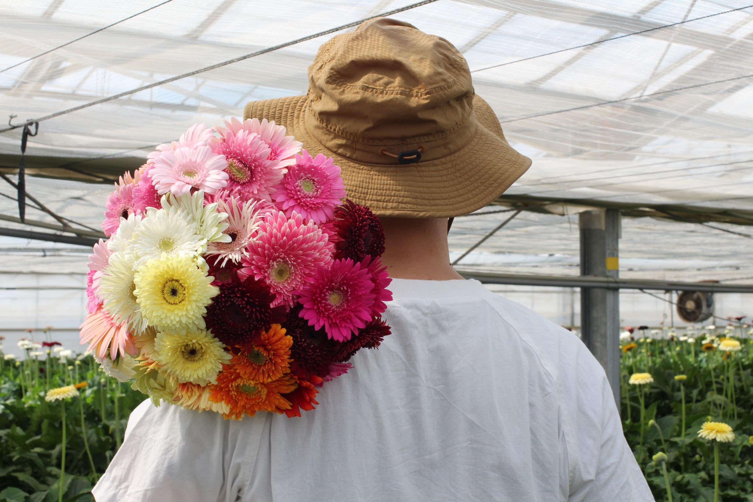 ADORE FLOWCAが発信するガーベラの魅力 先駆けて花開く前の蕾のガーベラを出荷したわけ