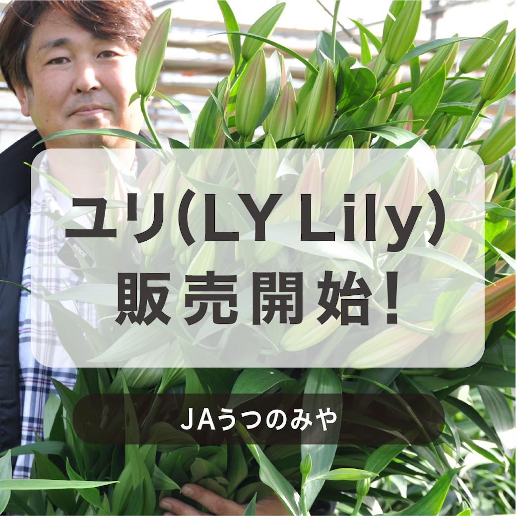 11月26日(木)から販売開始!ユリ(LY Lily)