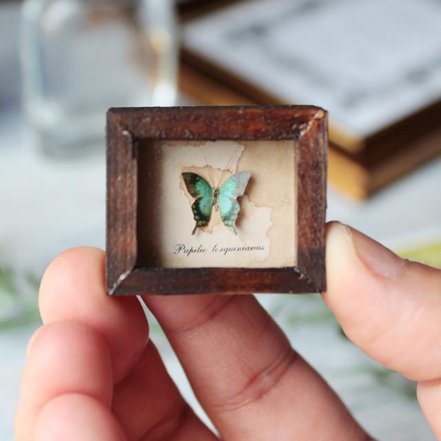 ヘリボシアオネアゲハの標本箱