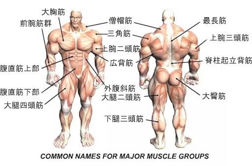 主要な筋肉の名称(名前)と作用(働き)|動く3DCG図鑑