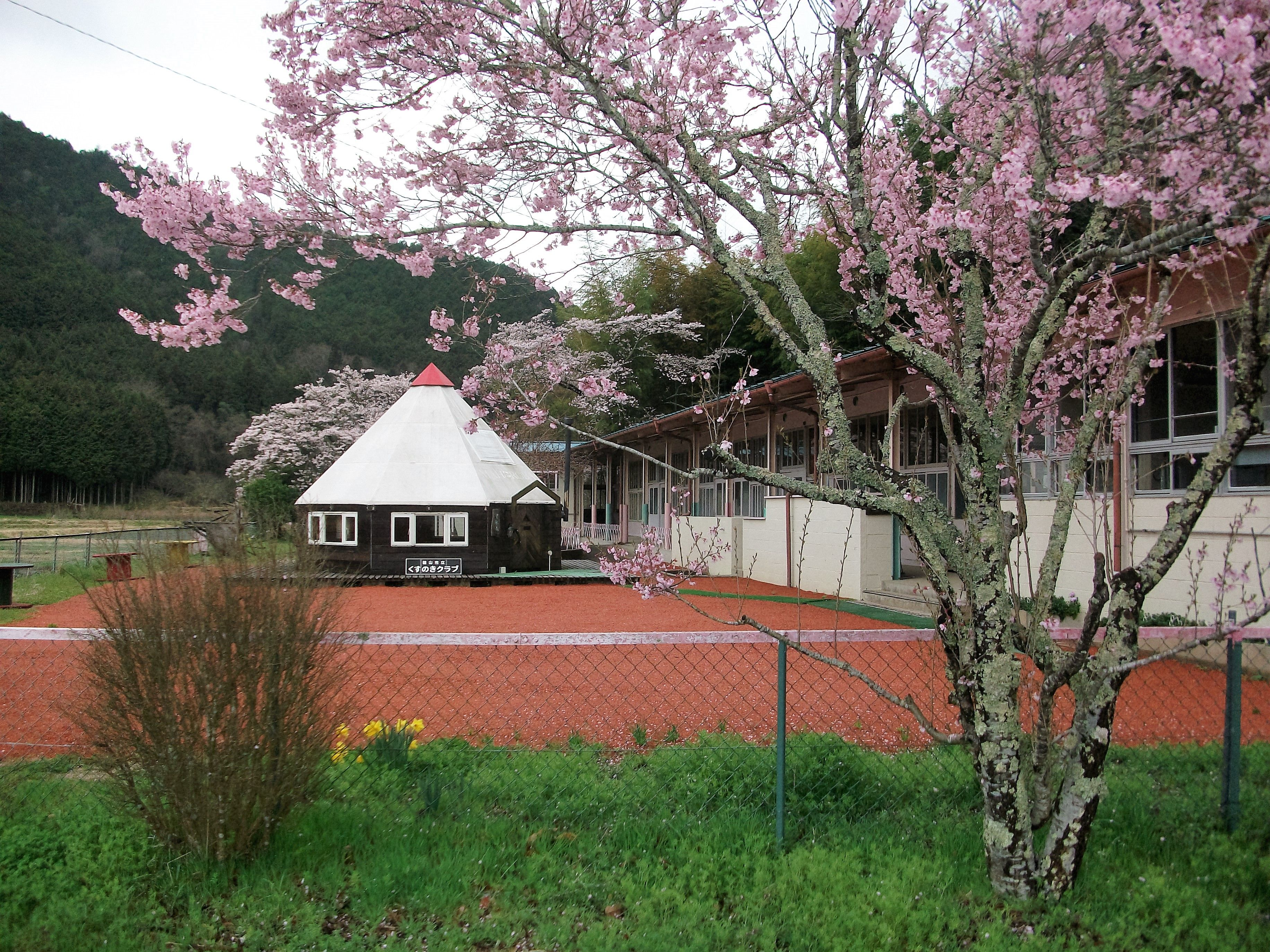 アグリステーションは桜が満開です。