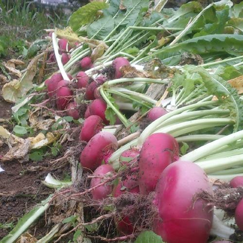 赤かぶのお漬物 - 飛騨伝統の発酵食品 その1