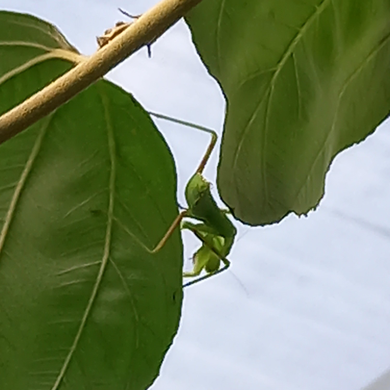 カマキリ虫