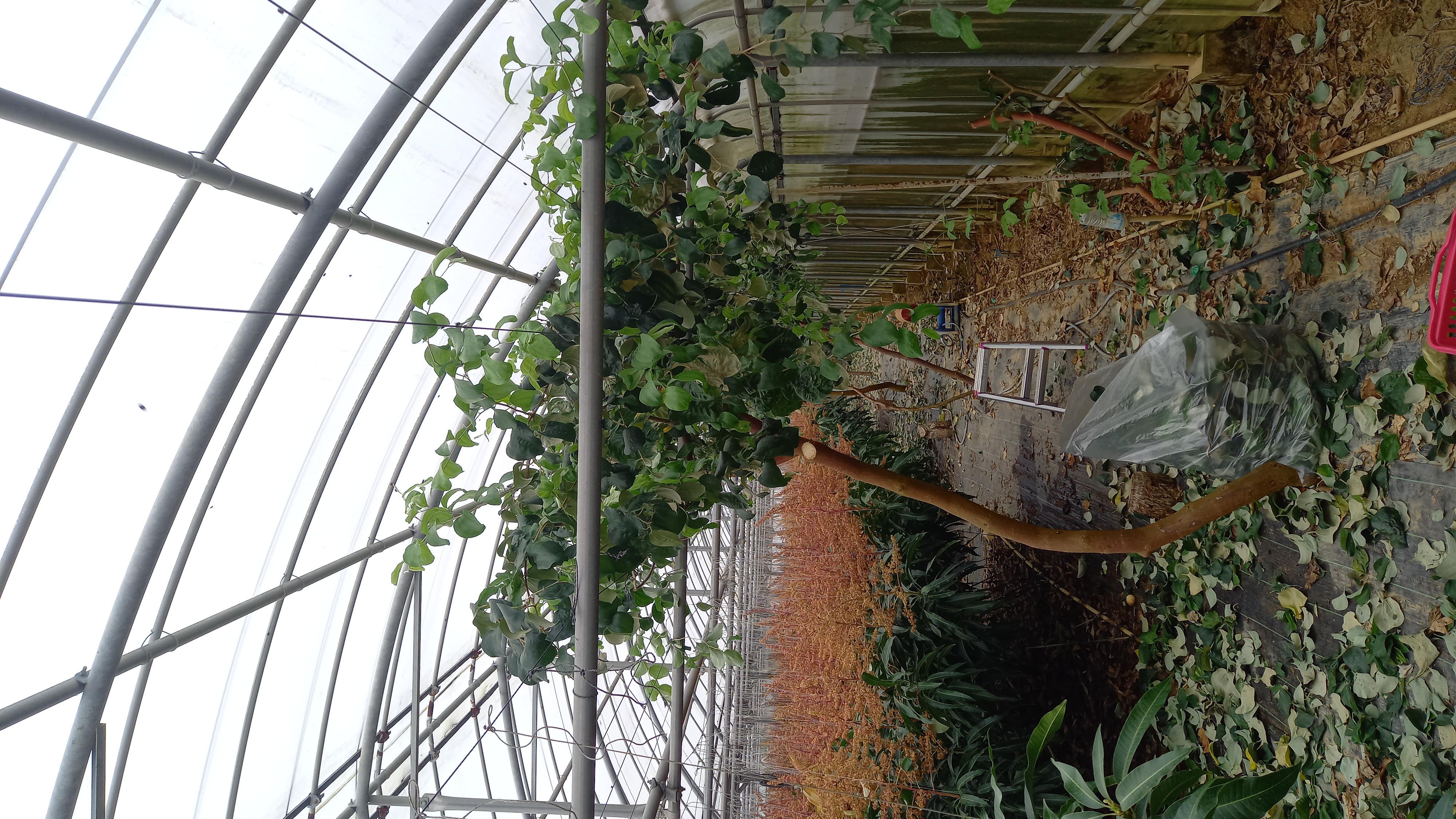 マンゴーの花吊り完了❗インドナツメ剪定完了❗