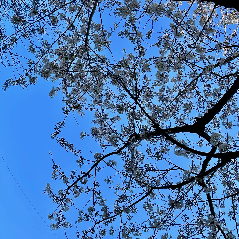 お庭の桜が見頃を迎えています