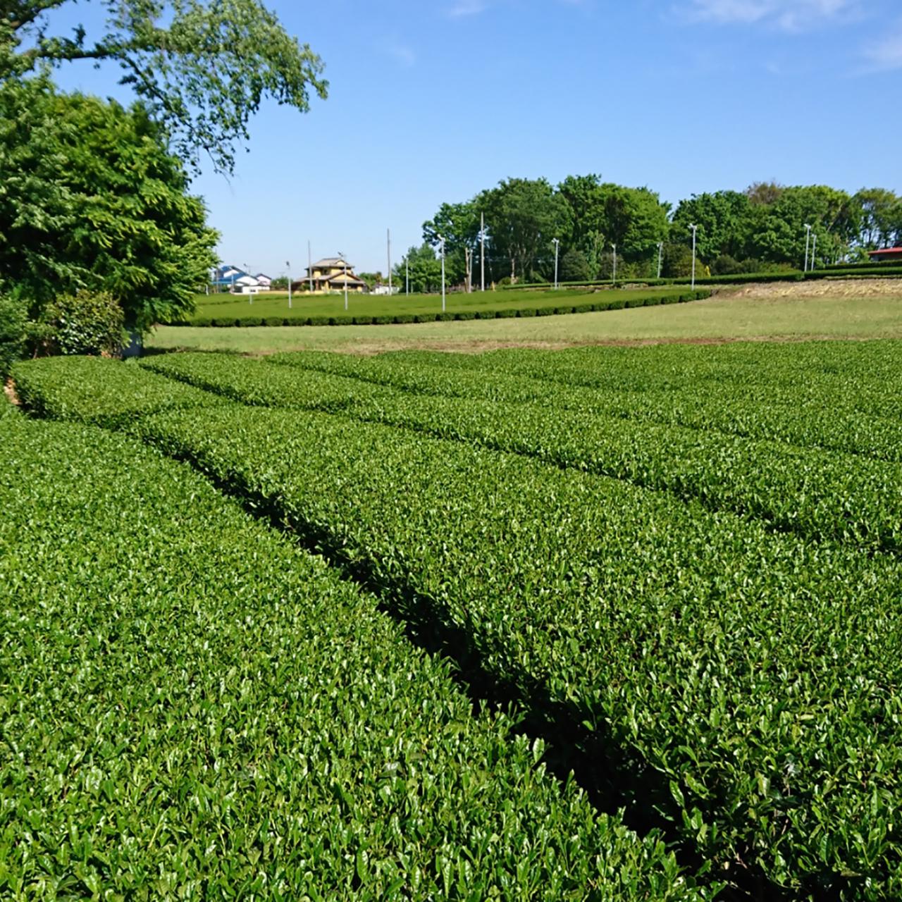 狭山茶について
