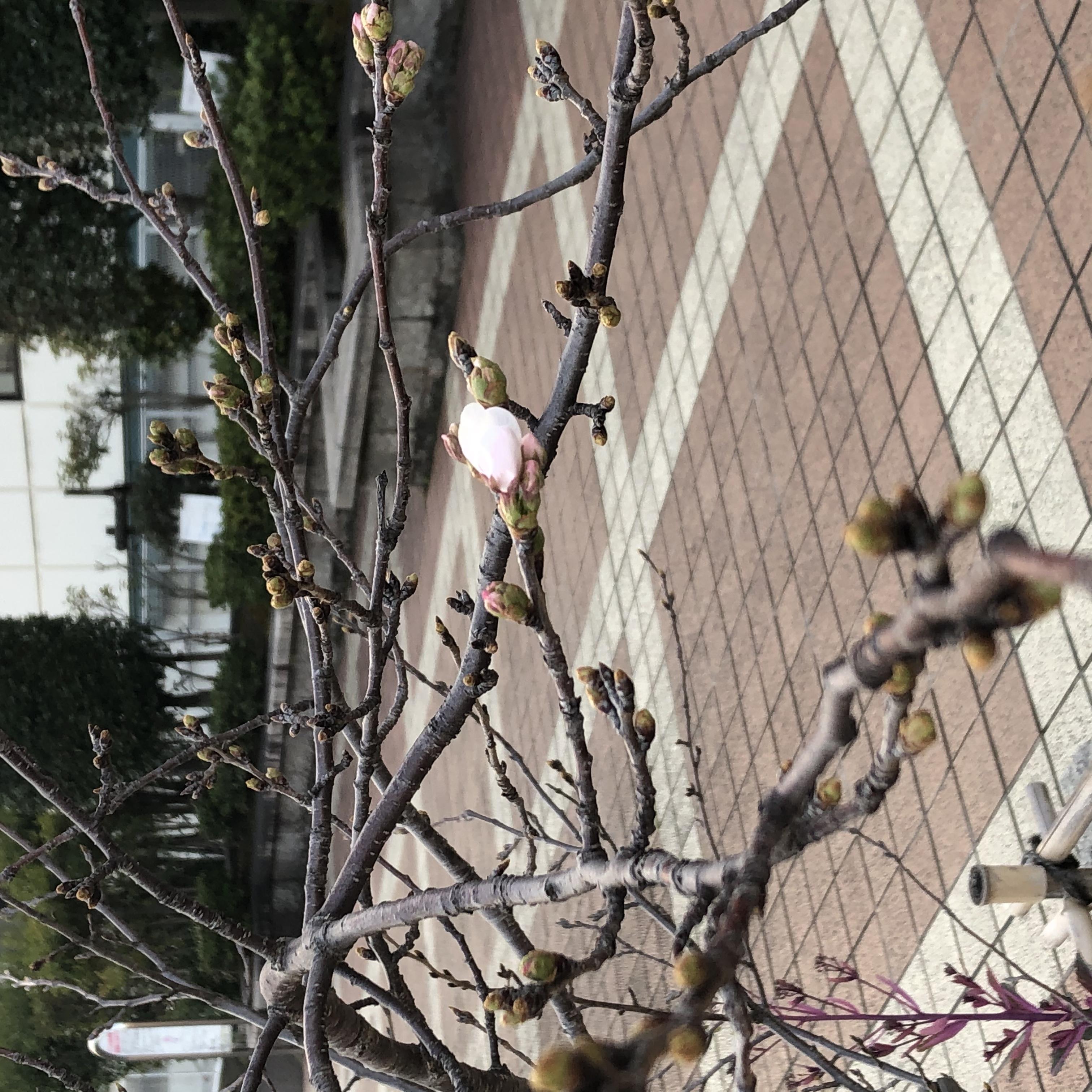 🌸桜一輪🌸