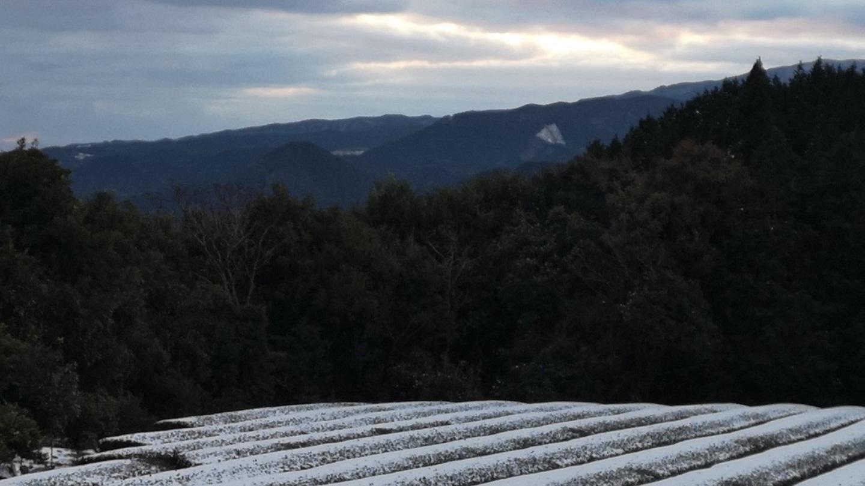 雪に覆われた茶畑がこんなに美しいなんて…