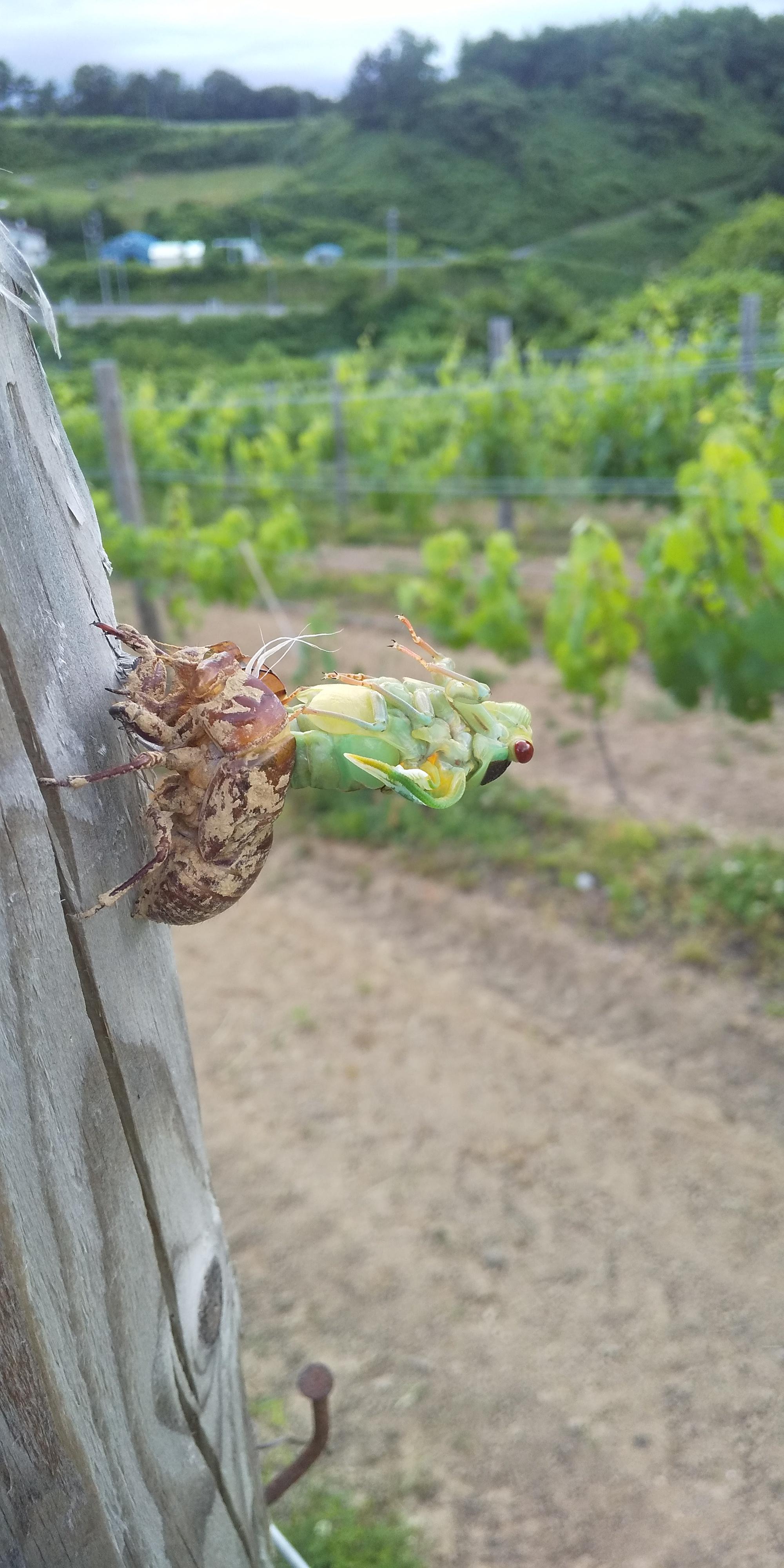 オーガニックで葡萄栽培をすること