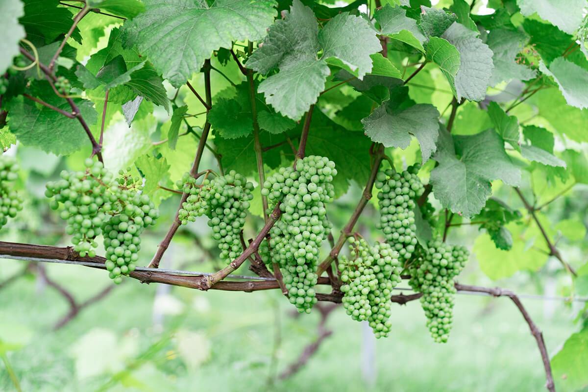じきの畑の葡萄について