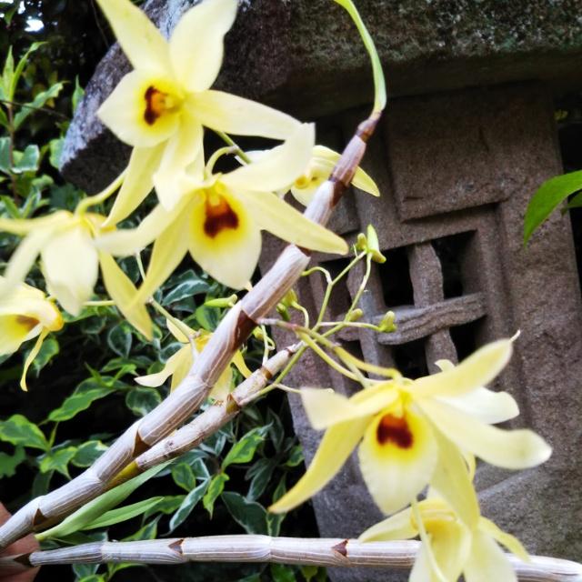 デンドロビューム・緑蝶、開花♪