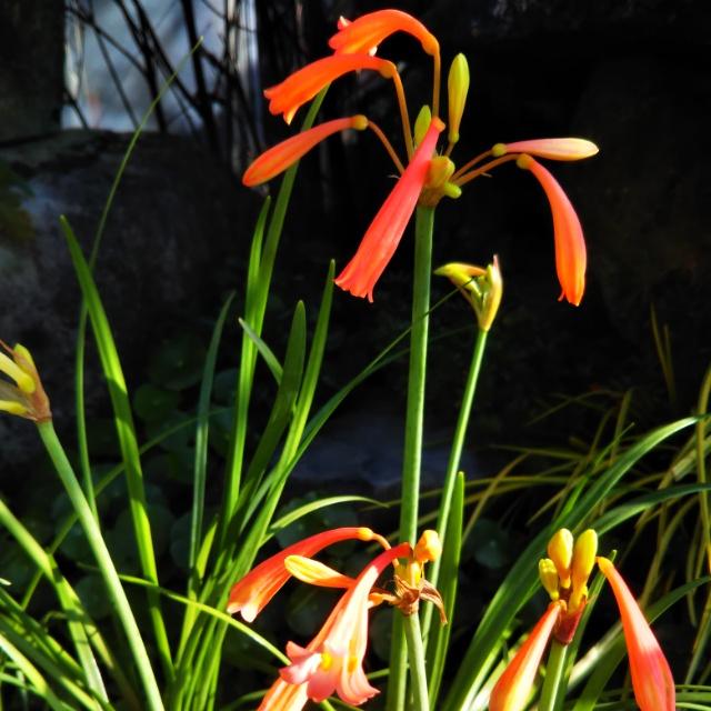 香りキルタンサス各種、開花中♪