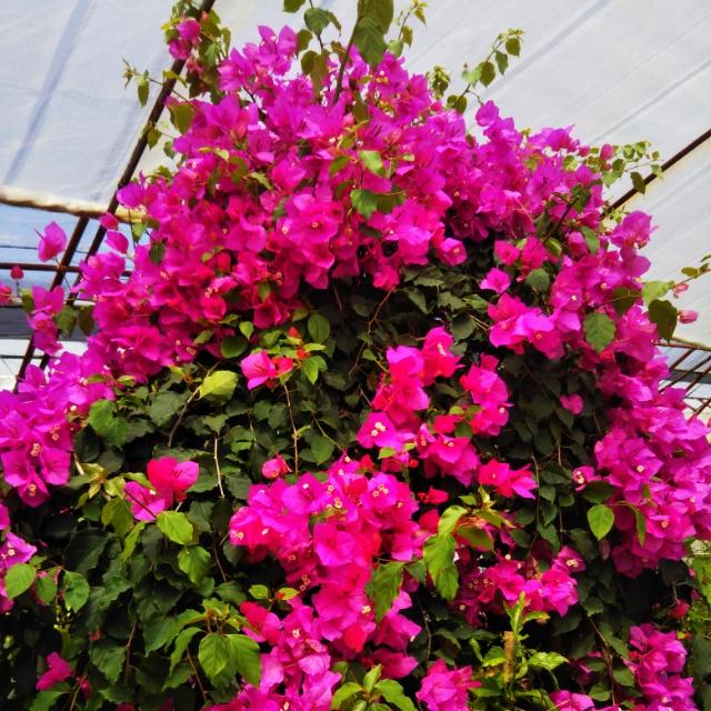 ブーゲンビリア、開花♪