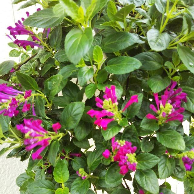 宿根サルビア各種、開花中♪