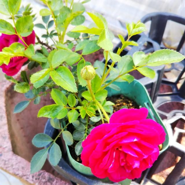 ツルバラ、開花中♪