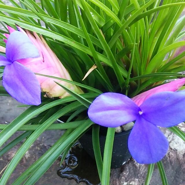 花アナナス、花芽があがっています!