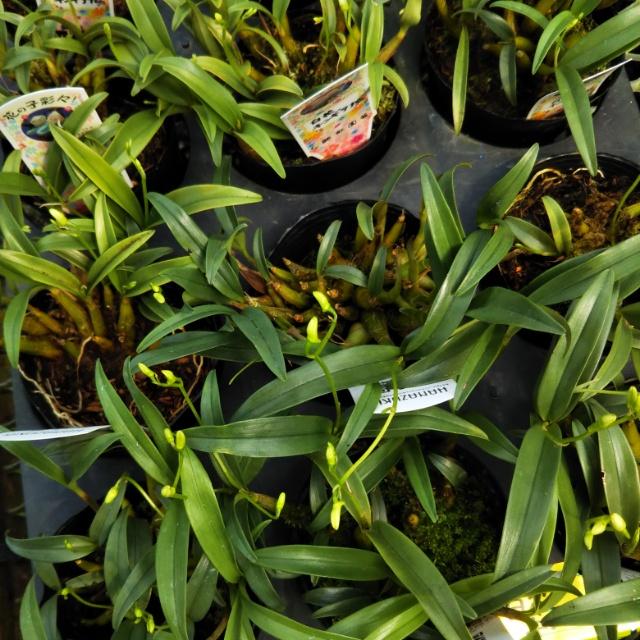 キンギアナム各種、花芽があがってます!