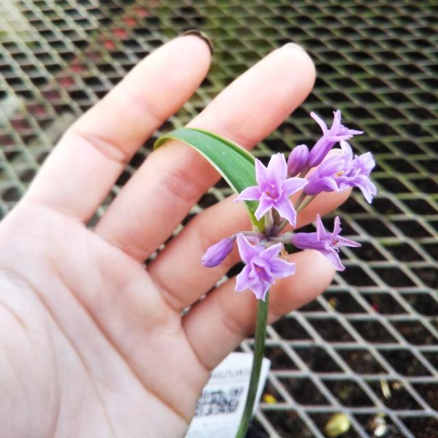 ツルバキア・フレグランス、開花♪